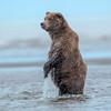 MGB-13-445: Standing Brown Bear