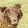 MGB-6100: Portriat of an Alaskan Brown Bear