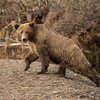 MGB-13-306: Alaskan Brown Bear sow