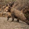MGB-13-306: Alaskan Brown Bear sow