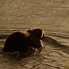 MGB-6172:Grizzly entering Brooks river at sunset.