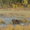 MGB-6441: Brown Bear in misty environment