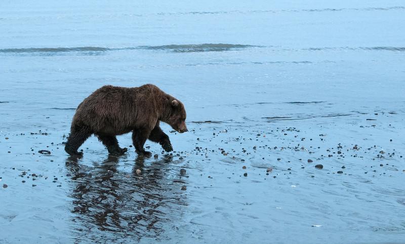 MGB-13-447-143: Brown Bear walking along Cook Inlet