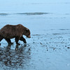 MGB-13-447-143: Brown Bear walking along Cook Inlet