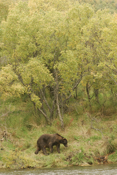 MGB-6678: Brown Bear walking along Brooks River