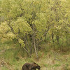 MGB-6678: Brown Bear walking along Brooks River