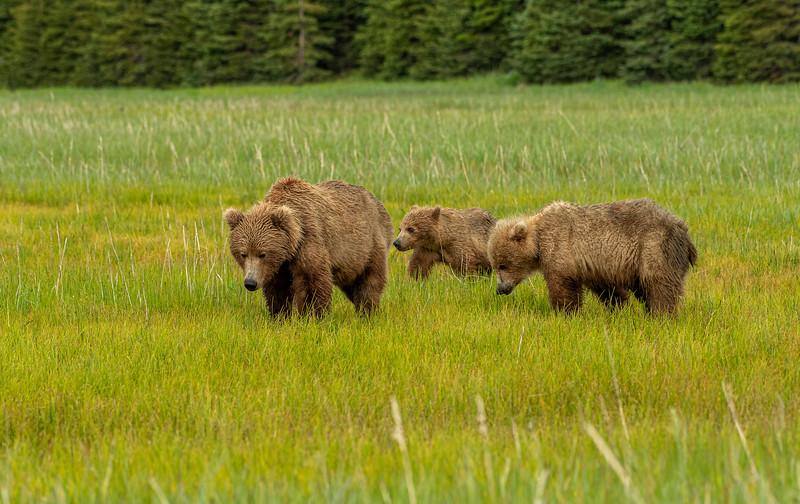 Alaskan Brown Bear family
