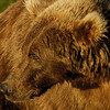 MGB-6120: Brown Bear portriat