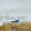 MGB-6375: Brown Bear checking for salmon on a misty morning