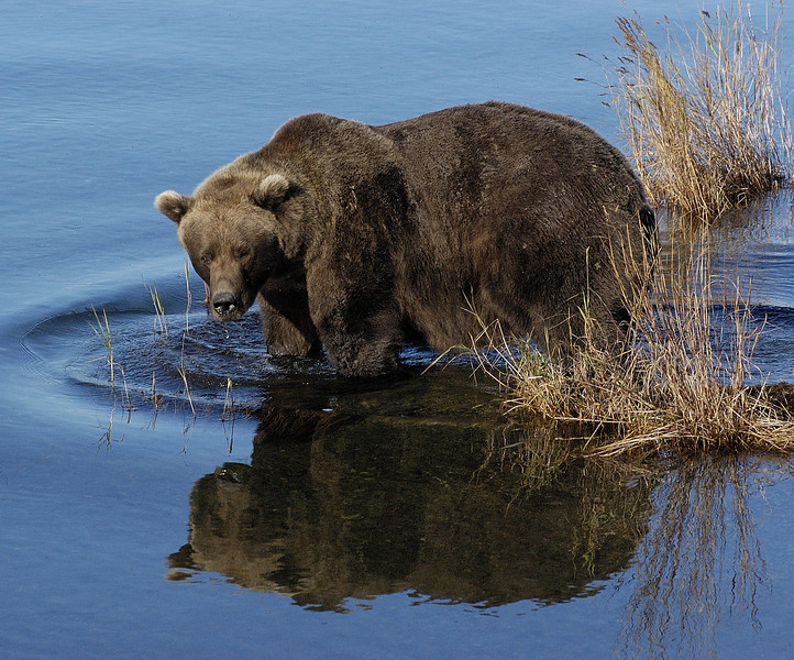 MGB-6596: Alaskan Brown Bear reflection