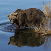 MGB-6596: Alaskan Brown Bear reflection