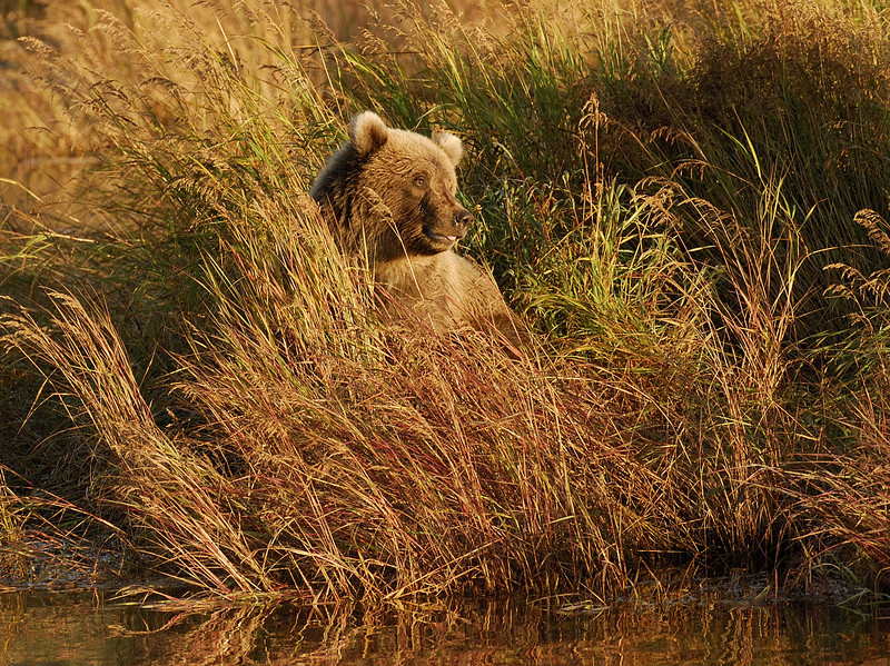 MGB-6622: Brown Bear at rivers edge