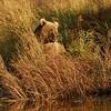 MGB-6622: Brown Bear at rivers edge