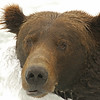 MGB-6652: Male Brown Bear at Brooks Falls
