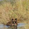 MGB-6459: Brown Bear with Sockeye Salmon