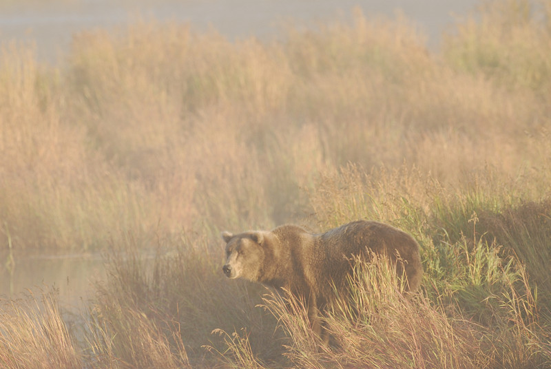 MGB-6395: Brown Bear in mist