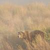 MGB-6395: Brown Bear in mist