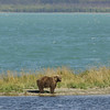 MGB-6222: Brown Bear at Naknek Lake