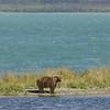 MGB-6222: Brown Bear at Naknek Lake