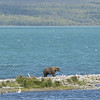 MGB-6406: Brown Bear at Naknek Lake