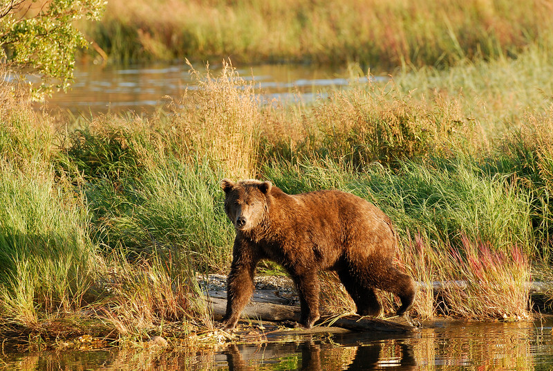 MGB-6141:Grizzly walking along Brooks river