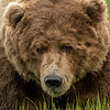 Male Brown Bear close-up