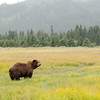 MGB-13-447-124: Brown Bear in meadow