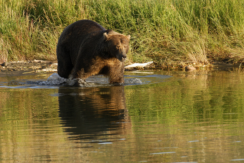 MGB-6470: Brown Bear entering Brooks River