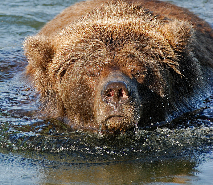 MGB-6576:Male Grizzly