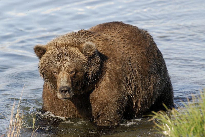 MGB-6573: Alaskan Brown Bear