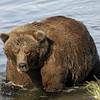 MGB-6573: Alaskan Brown Bear