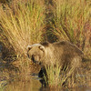 MGB-6440: Juvenile Brown Bear
