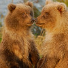 MGB-6346:Grizzly spring cubs