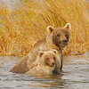 MGB-6083:Grizzly sow and cub