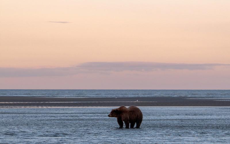 MGB-13-447-73: Fishing Brown Bear at twilight