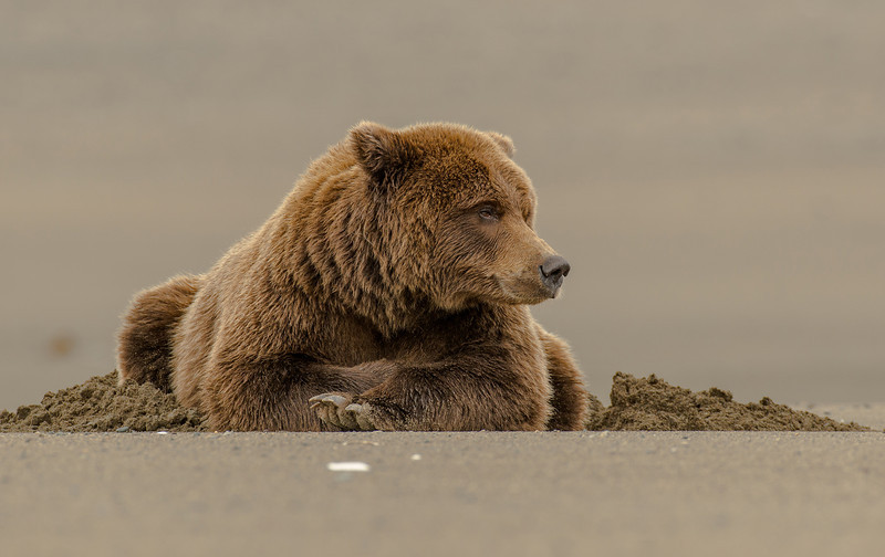 MGB-13-215: Resting Alaskan Brown Bear