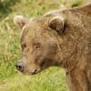 MGB-6590: Bear portrait