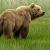 Brown Bear Sow in meadow