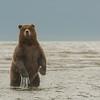 MGB-13-367: Standing Brown Bear