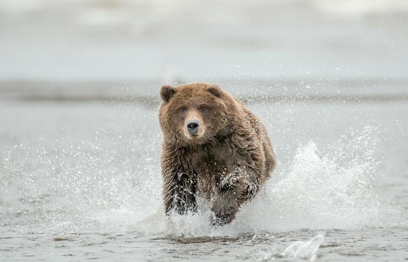 MGB-13-115: Brown Bear Charge