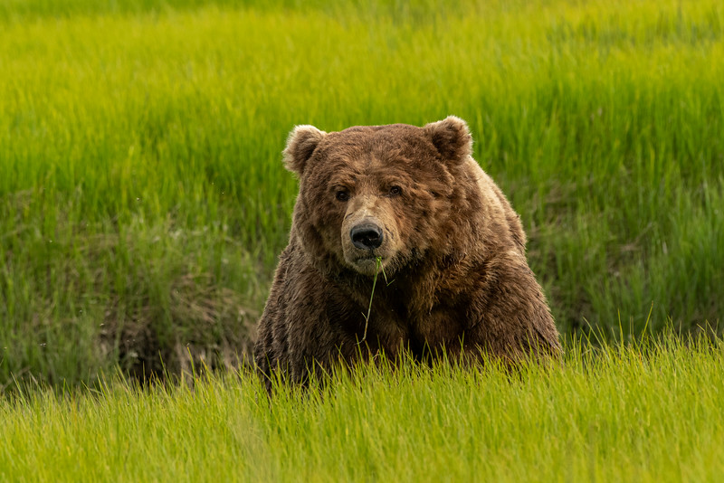 Old male Brown Bear