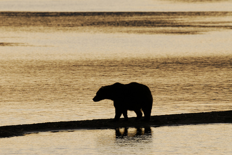 MGB-6535: Sunrise Brown Bear at Naknek Lake