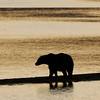 MGB-6535: Sunrise Brown Bear at Naknek Lake