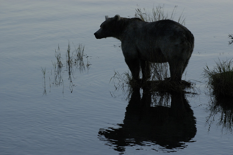 MGB-6566: Brown Bear at twilight