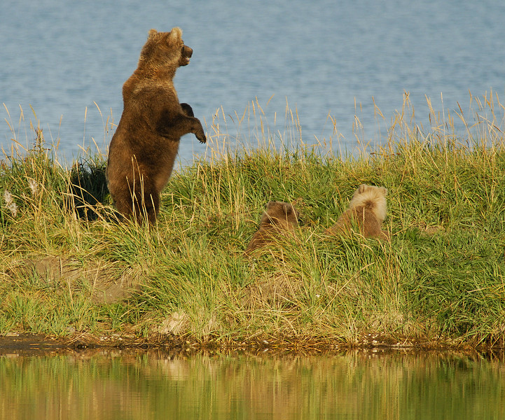 MGB-6584: Standing Sow with cubs
