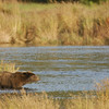 MGB-6447: Brown Bear on the Brooks River