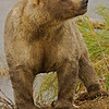 MGN-6013: Adult Alaskan Brown Bear