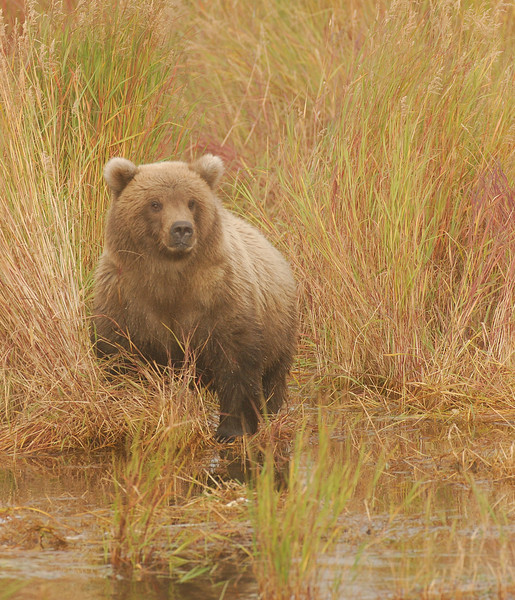 MGB-6477:Grizzly in September