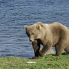 MGB-6755: Brown Bear at the mouth of Brooks River