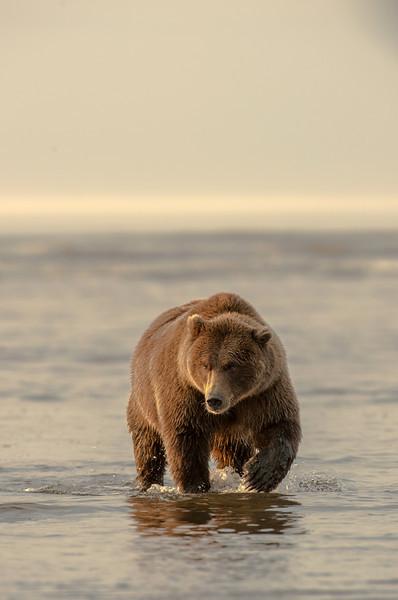 MGB-13-256: Alaskan Brown Bear